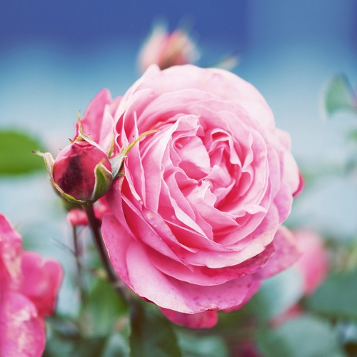 Names Of Roses British Baby Names